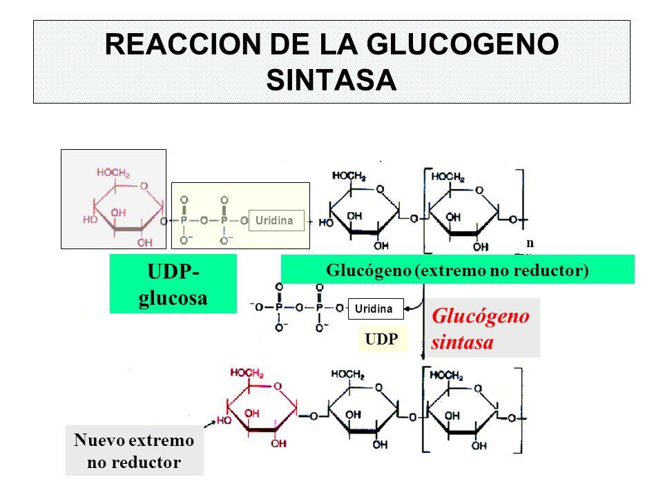 UDP- glucosa Glucógeno (extremo no reductor) UDP Glucógeno sintasa Nuevo extremo no reductor REACCION DE LA GLUCOGENO SINTASA n Uridina