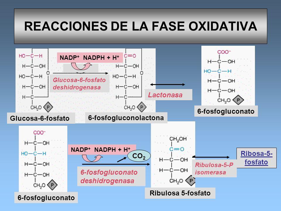 REACCIONES DE LA FASE OXIDATIVA Glucosa-6-fosfato 6-fosfogluconolactona Glucosa-6-fosfato deshidrogenasa NADP + NADPH + H + CO 2 6-fosfogluconato 6-fo
