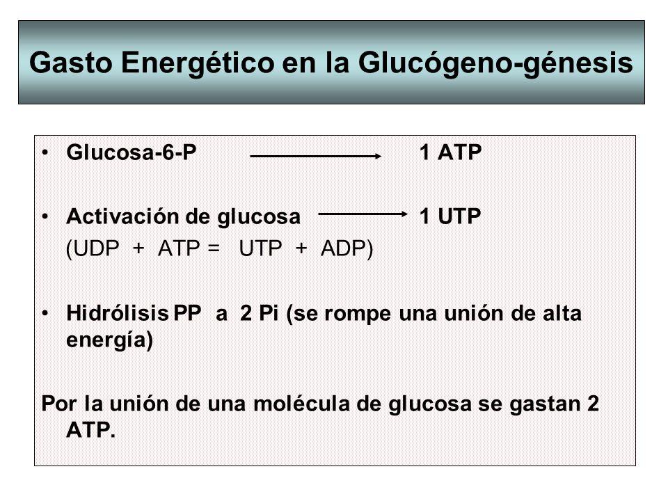 Gasto Energético en la Glucógeno-génesis Glucosa-6-P 1 ATP Activación de glucosa 1 UTP (UDP + ATP = UTP + ADP) Hidrólisis PP a 2 Pi (se rompe una unió