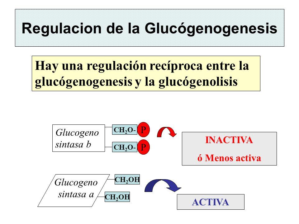 Regulacion de la Glucógenogenesis Hay una regulación recíproca entre la glucógenogenesis y la glucógenolisis INACTIVA ó Menos activa ACTIVA Glucogeno