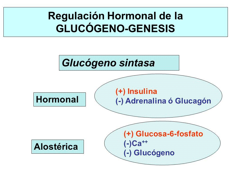 Hormonal (+) Insulina (-) Adrenalina ó Glucagón Regulación Hormonal de la GLUCÓGENO-GENESIS Alostérica (+) Glucosa-6-fosfato (-)Ca ++ (-) Glucógeno Gl