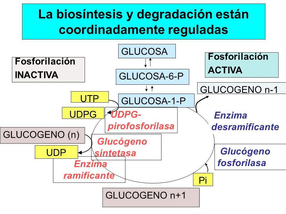 GLUCOSA GLUCOSA-6-P GLUCOGENO n+1 GLUCOSA-1-P UDPG UTP UDPG- pirofosforilasa Glucógeno sintetasa Glucógeno fosforilasa Pi GLUCOGENO (n) Enzima ramific