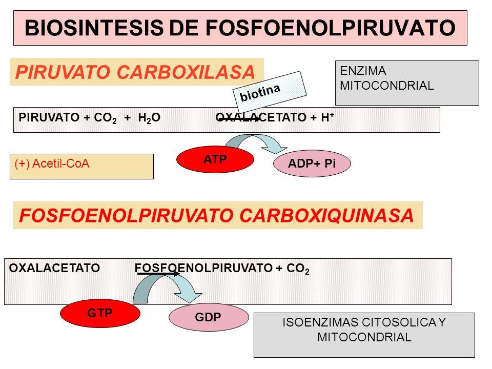 PIRUVATO CARBOXILASA FOSFOENOLPIRUVATO CARBOXIQUINASA PIRUVATO + CO 2 + H 2 OOXALACETATO + H + ADP+ Pi biotina OXALACETATO FOSFOENOLPIRUVATO + CO 2 AT