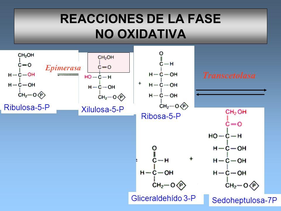 REACCIONES DE LA FASE NO OXIDATIVA Ribulosa-5-P Xilulosa-5-P Ribosa-5-P Gliceraldehído 3-P Sedoheptulosa-7P Transcetolasa Epimerasa