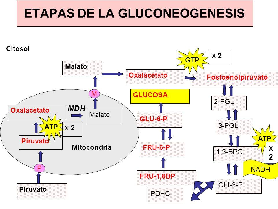 Mitocondria Piruvato Oxalacetato Malato Oxalacetato P M Citosol Fosfoenolpiruvato 2-PGL 3-PGL 1,3-BPGL GLI-3-P PDHC FRU-1,6BP FRU-6-P GLU-6-P GLUCOSA