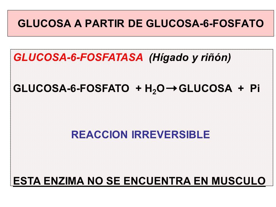GLUCOSA-6-FOSFATASA (Hígado y riñón) GLUCOSA-6-FOSFATO + H 2 OGLUCOSA + Pi REACCION IRREVERSIBLE ESTA ENZIMA NO SE ENCUENTRA EN MUSCULO GLUCOSA A PART