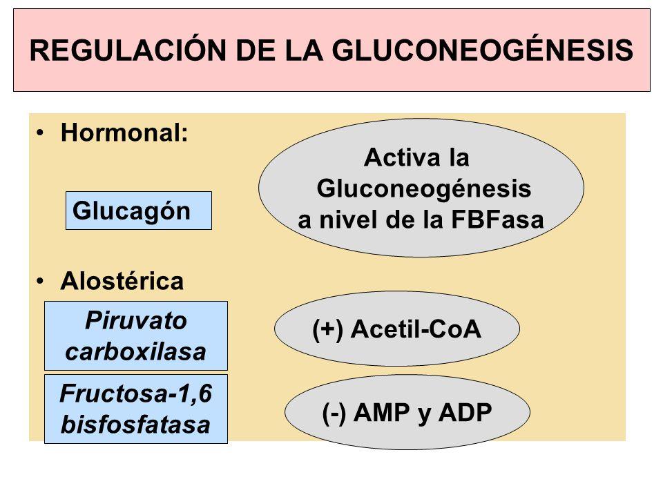REGULACIÓN DE LA GLUCONEOGÉNESIS Hormonal: Alostérica Glucagón Activa la Gluconeogénesis a nivel de la FBFasa Fructosa-1,6 bisfosfatasa (+) Acetil-CoA