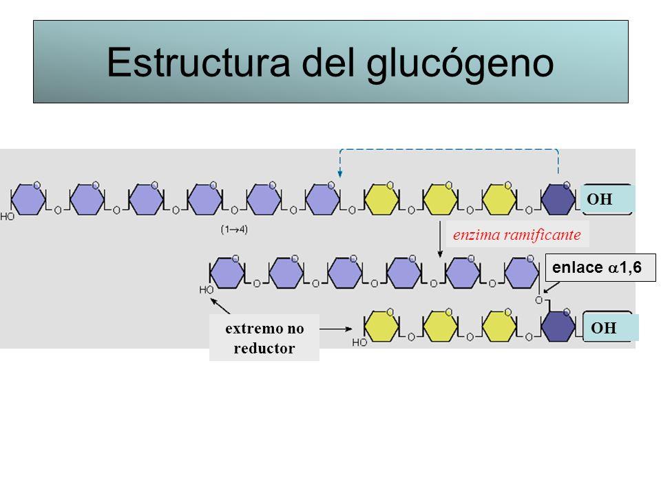 Estructura del glucógeno enlace 1,6 extremo no reductor enzima ramificante OH