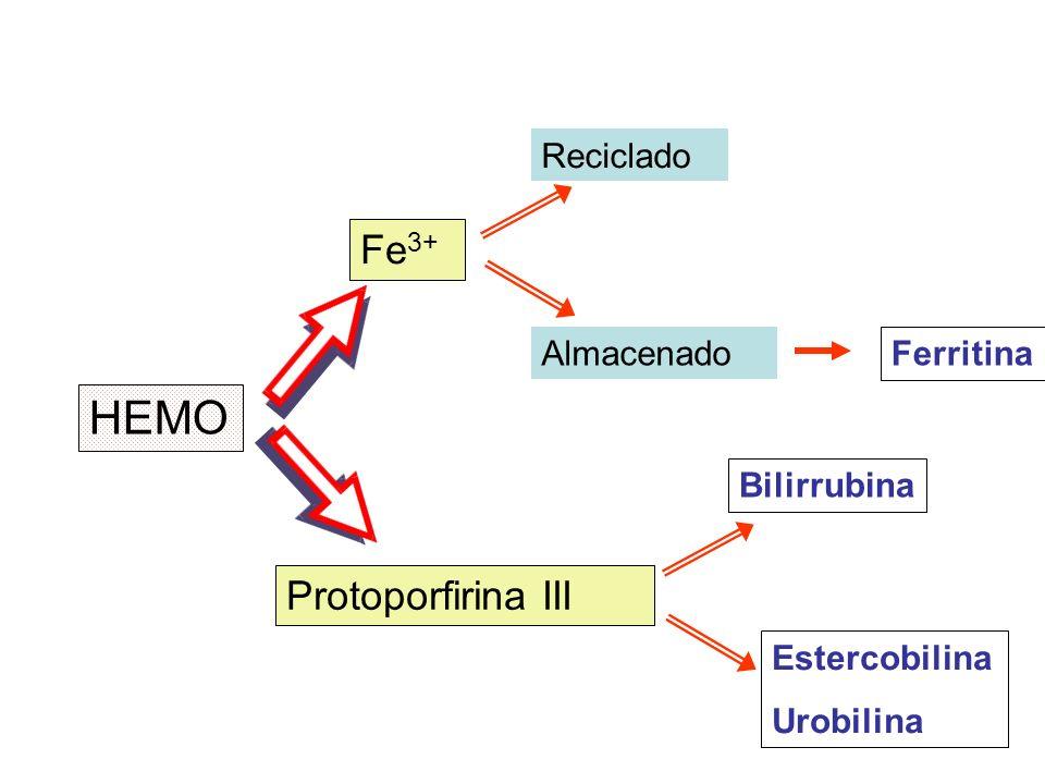 HEMO Fe 3+ Protoporfirina III Reciclado Almacenado Ferritina Estercobilina Urobilina Bilirrubina