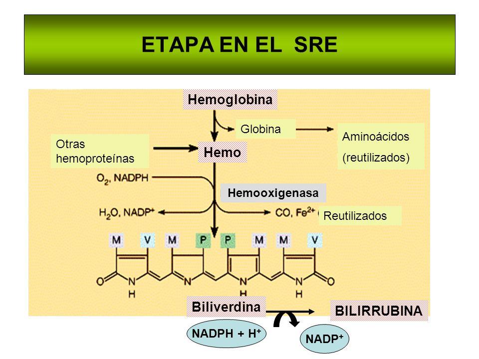 ETAPA EN EL SRE Hemooxigenasa Biliverdina Hemo Globina Aminoácidos (reutilizados) Hemoglobina Otras hemoproteínas Reutilizados BILIRRUBINA NADPH + H +