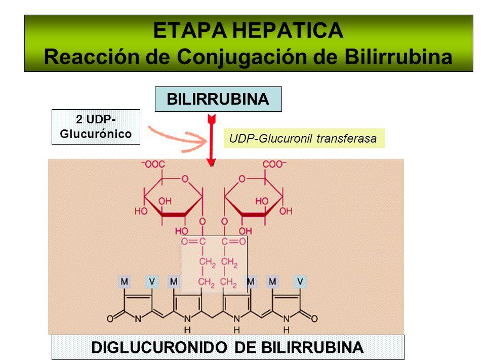 ETAPA HEPATICA Reacción de Conjugación de Bilirrubina UDP-Glucuronil transferasa BILIRRUBINA 2 UDP- Glucurónico DIGLUCURONIDO DE BILIRRUBINA