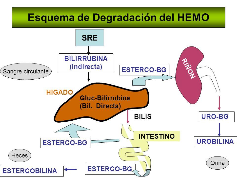 Esquema de Degradación del HEMO SRE BILIRRUBINA (Indirecta) HIGADO Gluc-Bilirrubina (Bil. Directa) INTESTINO RIÑON BILIS URO-BG UROBILINA ESTERCO-BG E