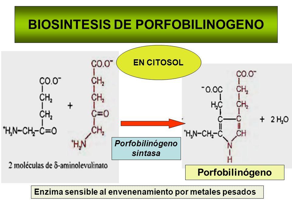 BIOSINTESIS DE PORFOBILINOGENO Porfobilinógeno sintasa Enzima sensible al envenenamiento por metales pesados Porfobilinógeno EN CITOSOL
