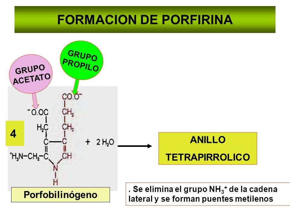 FORMACION DE PORFIRINA Porfobilinógeno 4 ANILLO TETRAPIRROLICO. Se elimina el grupo NH 3 + de la cadena lateral y se forman puentes metilenos GRUPO AC