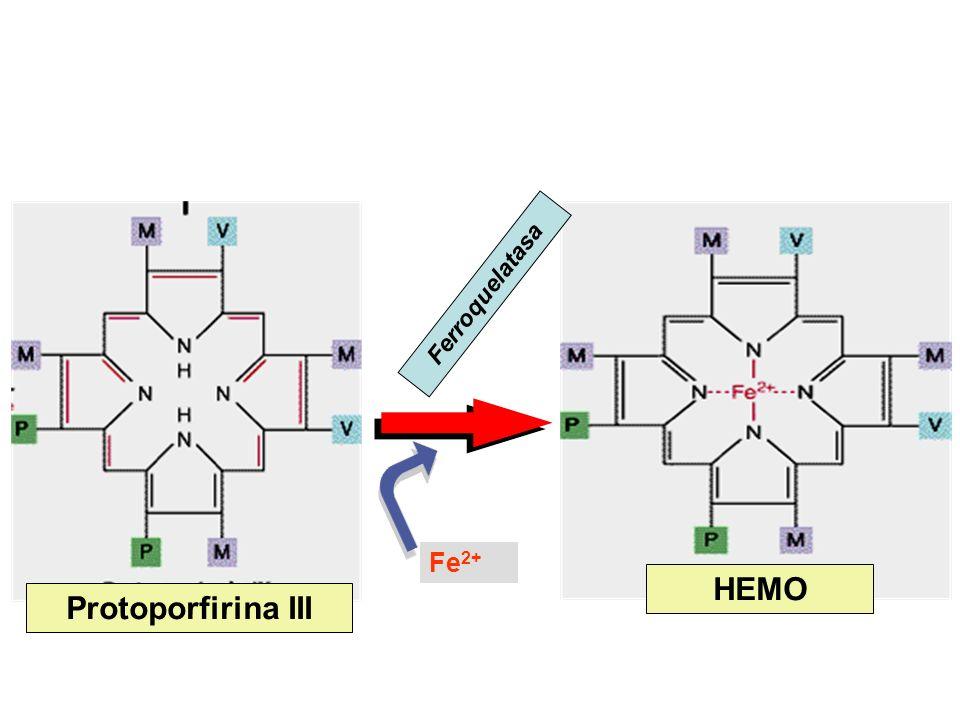 Protoporfirina III HEMO Ferroquelatasa Fe 2+