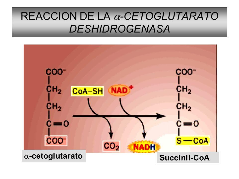 REACCION DE LA -CETOGLUTARATO DESHIDROGENASA -cetoglutarato Succinil-CoA