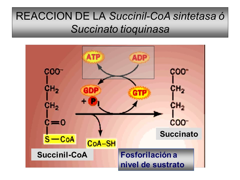 REACCION DE LA Succinil-CoA sintetasa ó Succinato tioquinasa Succinil-CoA Succinato Fosforilación a nivel de sustrato