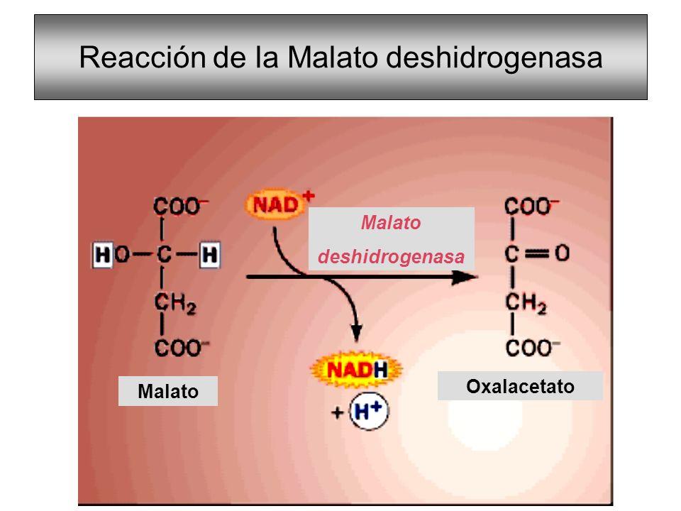 Reacción de la Malato deshidrogenasa Malato Oxalacetato Malato deshidrogenasa