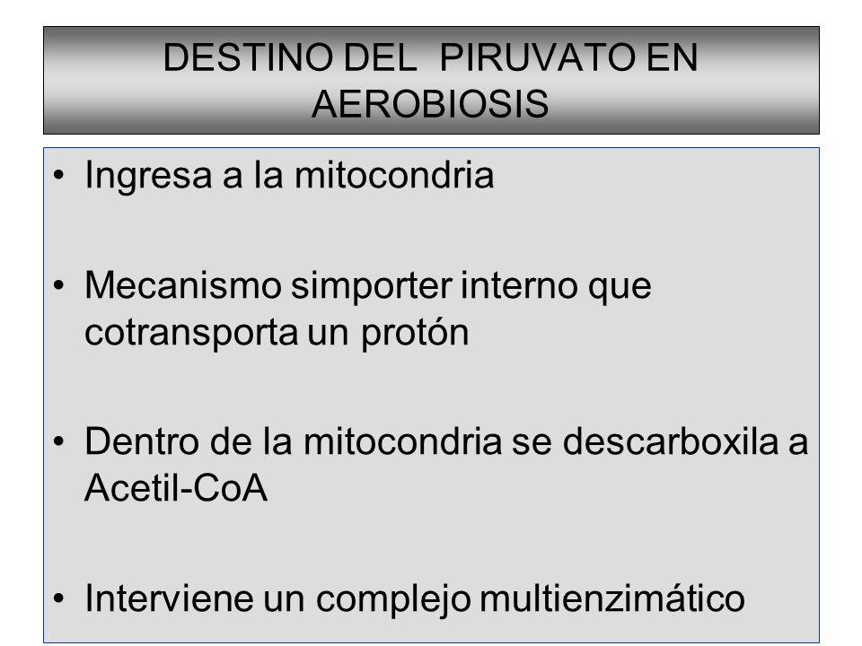 DESTINO DEL PIRUVATO EN AEROBIOSIS Ingresa a la mitocondria Mecanismo simporter interno que cotransporta un protón Dentro de la mitocondria se descarb