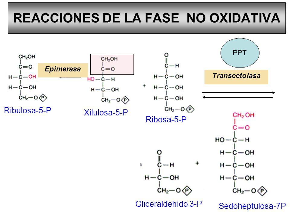 REACCIONES DE LA FASE NO OXIDATIVA Ribulosa-5-P Xilulosa-5-P Ribosa-5-P Gliceraldehído 3-P Sedoheptulosa-7P Transcetolasa Epimerasa PPT