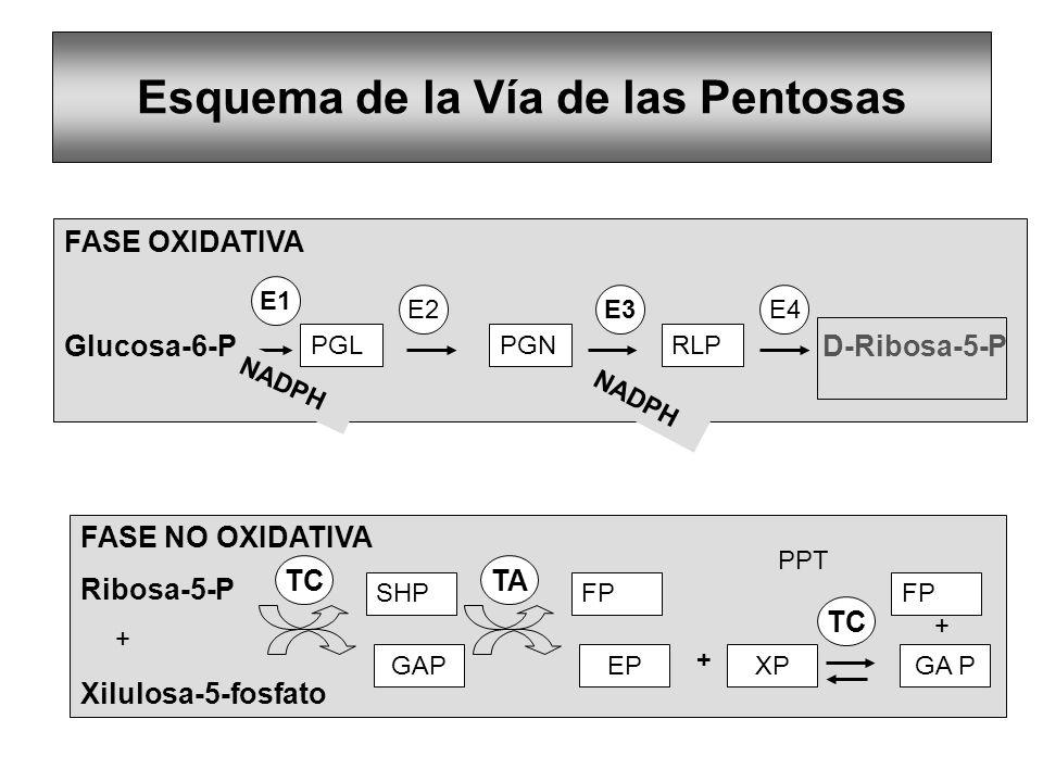 Esquema de la Vía de las Pentosas FASE OXIDATIVA Glucosa-6-P D-Ribosa-5-P E1 E2E3E4 NADPH FASE NO OXIDATIVA Ribosa-5-P Xilulosa-5-fosfato TC SHP GAP F