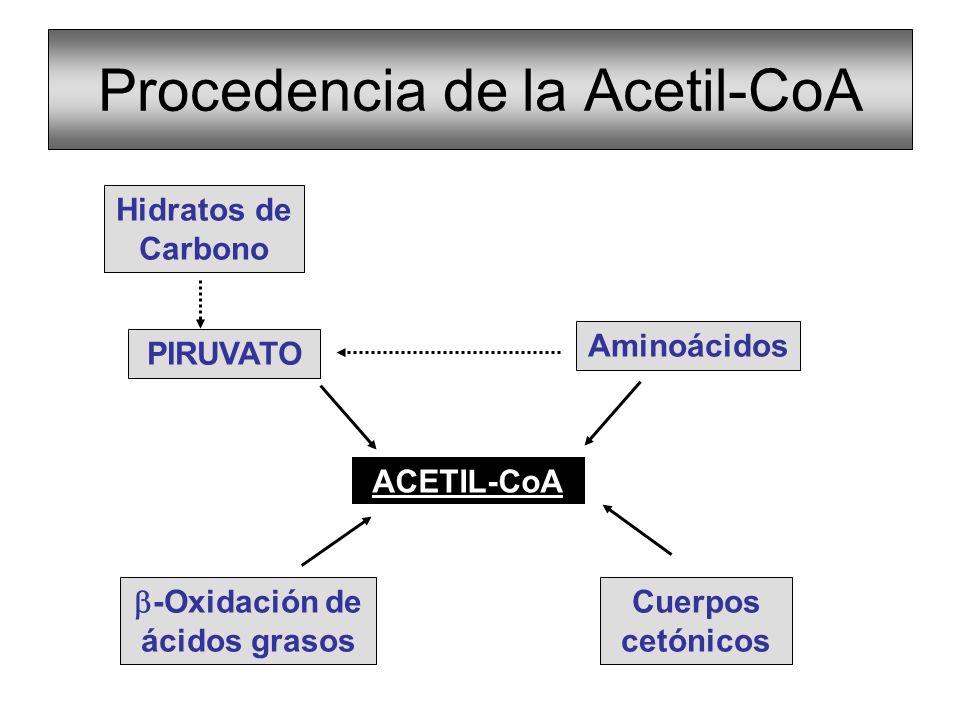 FUNCIONES DEL CICLO DE KREBS Fuente productora de coenzimas reducidas utilizadas para la producción de ATP, Produce la mayor parte del CO 2 de la célula.