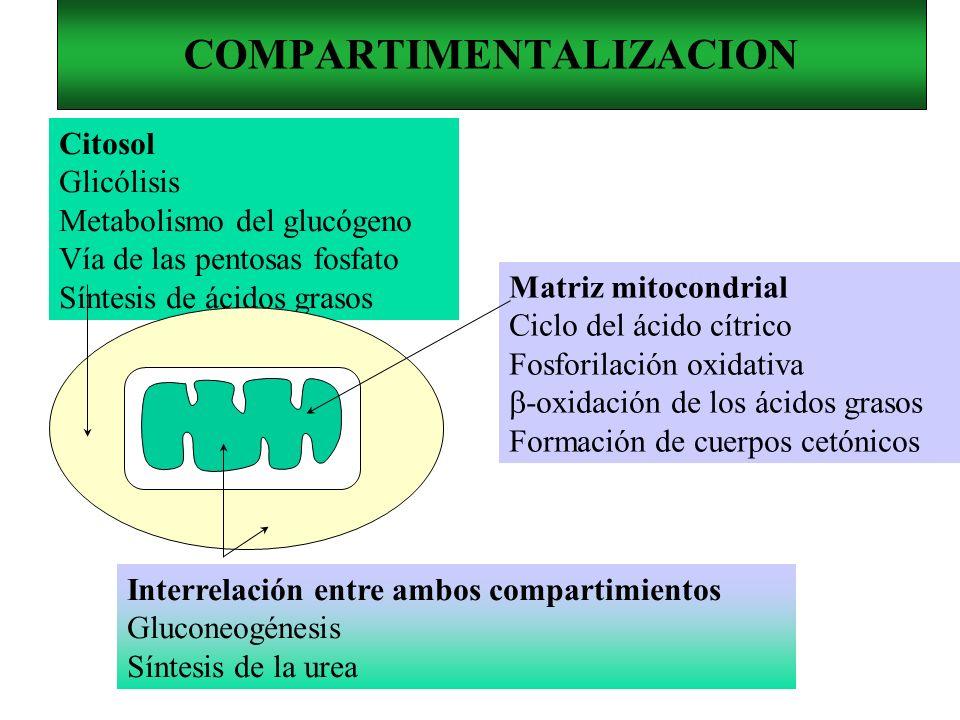 COMPARTIMENTALIZACION Citosol Glicólisis Metabolismo del glucógeno Vía de las pentosas fosfato Síntesis de ácidos grasos Matriz mitocondrial Ciclo del