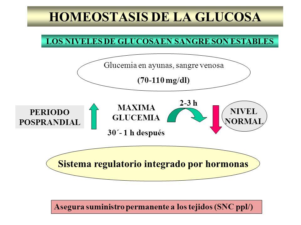 HOMEOSTASIS DE LA GLUCOSA LOS NIVELES DE GLUCOSA EN SANGRE SON ESTABLES Glucemia en ayunas, sangre venosa (70-110 mg/dl) PERIODO POSPRANDIAL MAXIMA GL