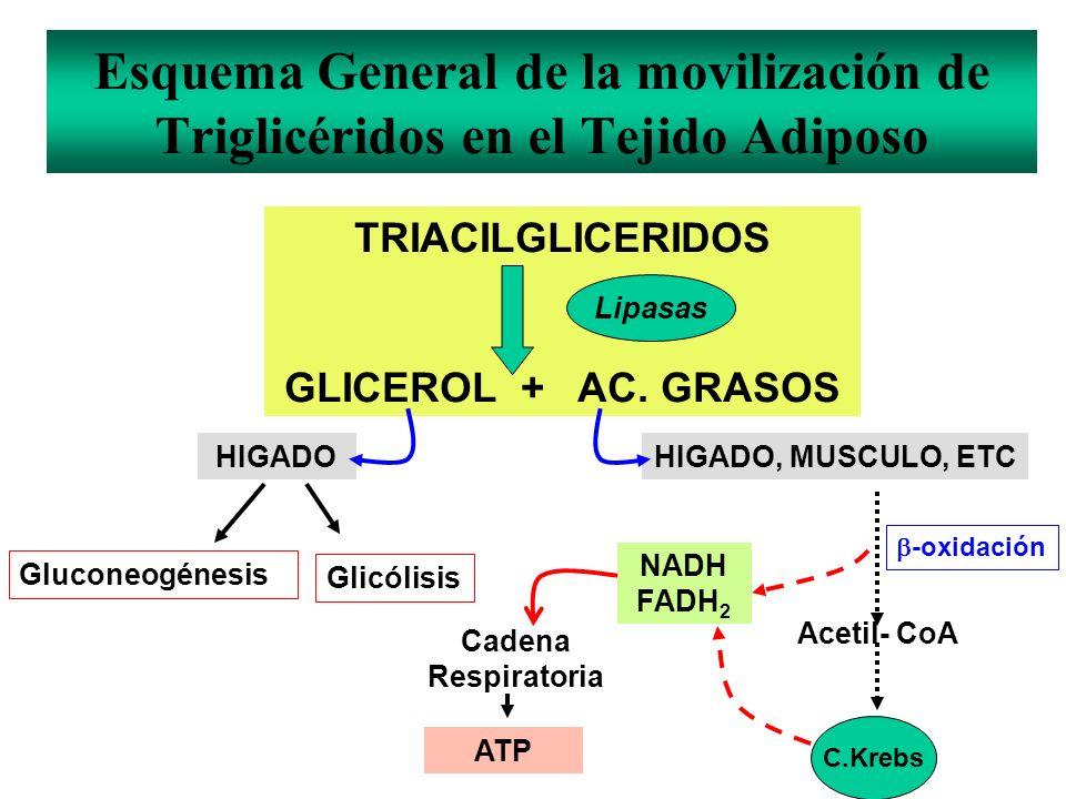 TRIACILGLICERIDOS GLICEROL + AC. GRASOS Lipasas HIGADOHIGADO, MUSCULO, ETC Gluconeogénesis Glicólisis Acetil- CoA NADH FADH 2 Cadena Respiratoria ATP