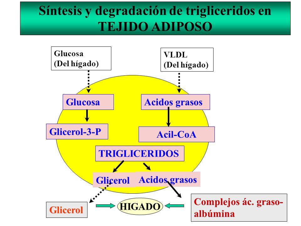 Síntesis y degradación de trigliceridos en TEJIDO ADIPOSO Glucosa (Del hígado) VLDL (Del hígado) GlucosaAcidos grasos Glicerol-3-P Acil-CoA TRIGLICERI