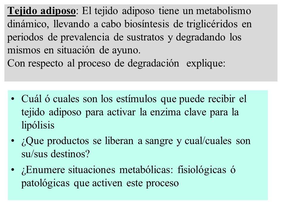 Tejido adiposo: El tejido adiposo tiene un metabolismo dinámico, llevando a cabo biosíntesis de triglicéridos en periodos de prevalencia de sustratos