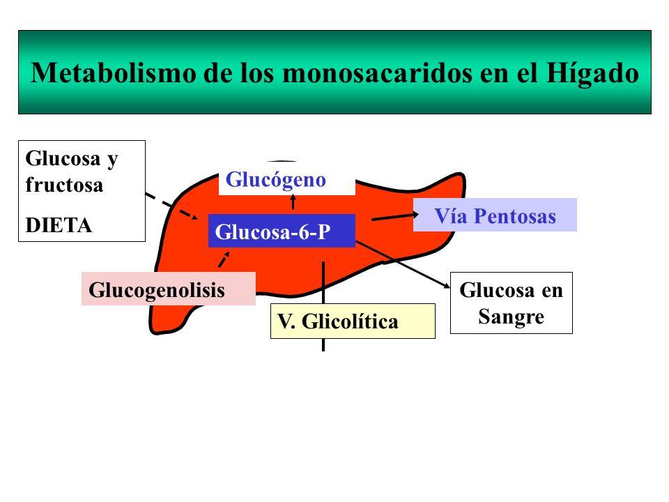 Metabolismo de los monosacaridos en el Hígado Glucosa-6-P Glucosa y fructosa DIETA V. Glicolítica PIRUVATO Acetil-CoA C. de Krebs Glucosa en Sangre Ví