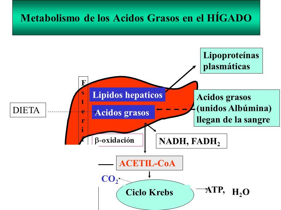 Ciclo Krebs Metabolismo de los Acidos Grasos en el HÍGADO Lipoproteínas plasmáticas Acidos grasos (unidos Albúmina) llegan de la sangre NADH, FADH 2 -