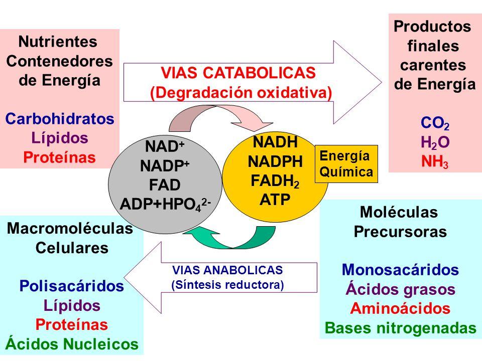Moléculas Precursoras Monosacáridos Ácidos grasos Aminoácidos Bases nitrogenadas Macromoléculas Celulares Polisacáridos Lípidos Proteínas Ácidos Nucle