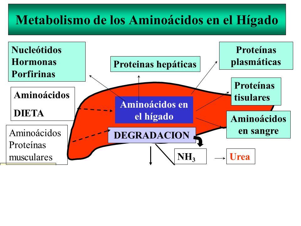Metabolismo de los Aminoácidos en el Hígado Proteinas hepáticas Nucleótidos Hormonas Porfirinas Proteínas plasmáticas Aminoácidos en el hígado Aminoác