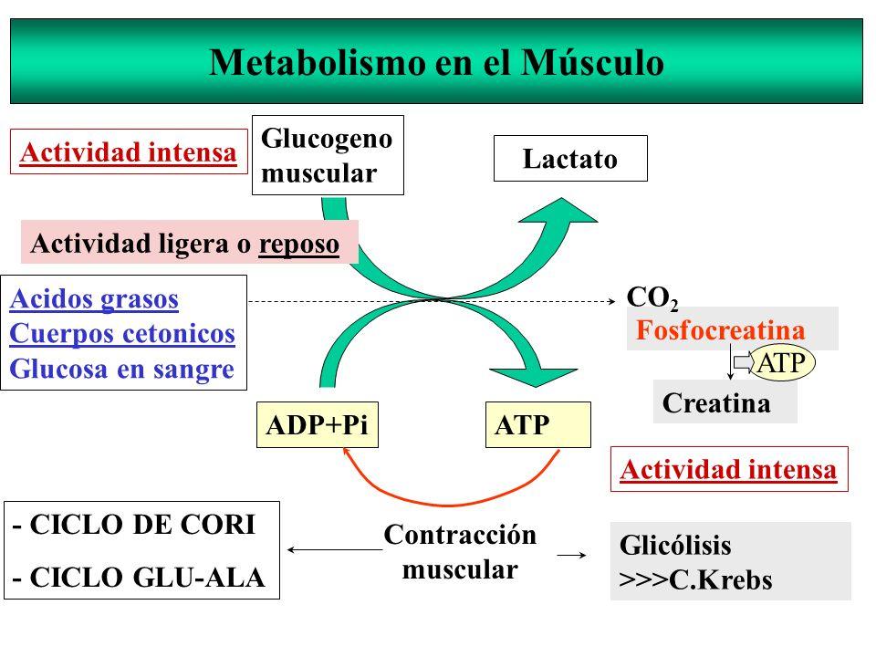 Metabolismo en el Músculo Glucogeno muscular Lactato Acidos grasos Cuerpos cetonicos Glucosa en sangre ADP+PiATP Contracción muscular Fosfocreatina Cr