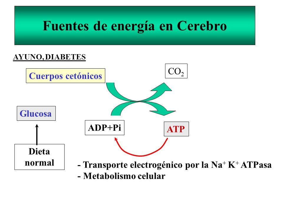 Fuentes de energía en Cerebro Cuerpos cetónicos CO 2 Glucosa ADP+Pi ATP - Transporte electrogénico por la Na + K + ATPasa - Metabolismo celular Dieta