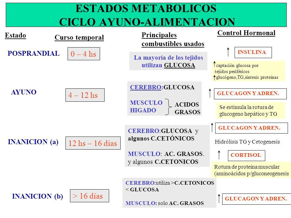 ESTADOS METABOLICOS CICLO AYUNO-ALIMENTACION Estado Curso temporal POSPRANDIAL Principales combustibles usados Control Hormonal 0 – 4 hs La mayoría de