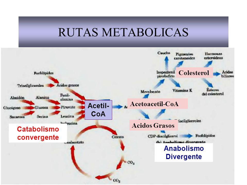 RUTAS METABOLICAS Acetil- CoA Catabolismo convergente Anabolismo Divergente Acetoacetil-CoA Colesterol Acidos Grasos