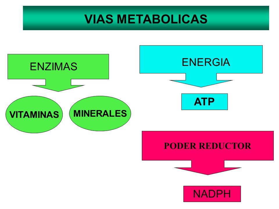 VITAMINAS MINERALES ENZIMAS ENERGIA ATP VIAS METABOLICAS PODER REDUCTOR NADPH