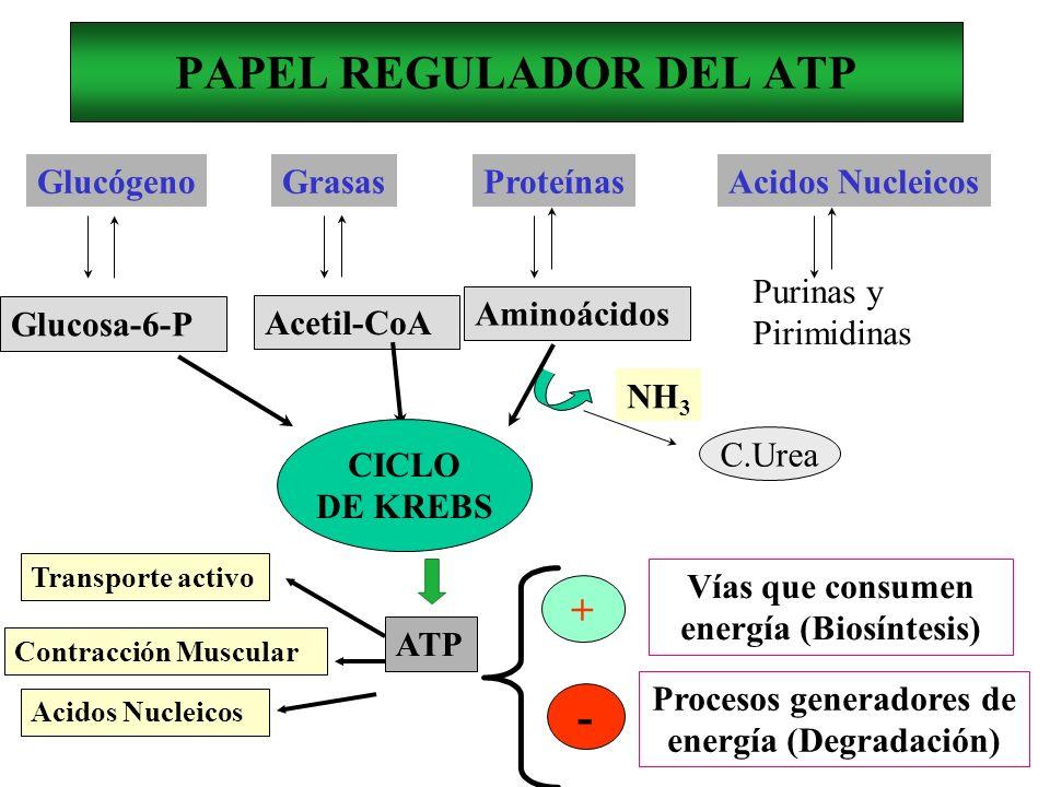 PAPEL REGULADOR DEL ATP GlucógenoGrasasProteínasAcidos Nucleicos Glucosa-6-P Acetil-CoA Aminoácidos Purinas y Pirimidinas ATP NH 3 CICLO DE KREBS C.Ur