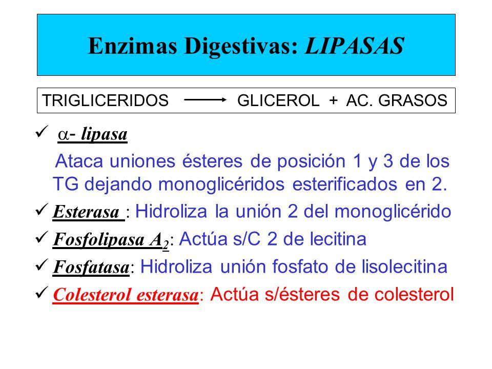 Enzimas Digestivas: LIPASAS - lipasa Ataca uniones ésteres de posición 1 y 3 de los TG dejando monoglicéridos esterificados en 2. Esterasa : Hidroliza