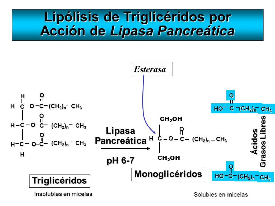 Ácidos Grasos Libres HO C (CH 2 ) n O CH 3 LipasaPancreática pH 6-7 Lipólisis de Triglicéridos por Acción de Lipasa Pancreática Solubles en micelas In