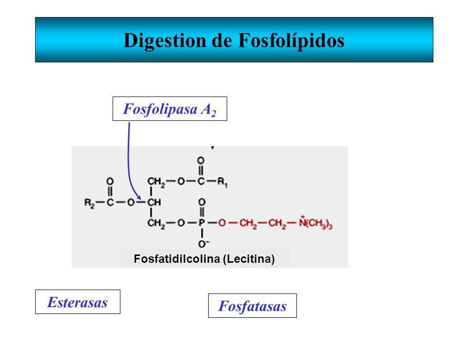 Digestion de Fosfolípidos Fosfatidilcolina (Lecitina) Esterasas Fosfatasas Fosfolipasa A 2