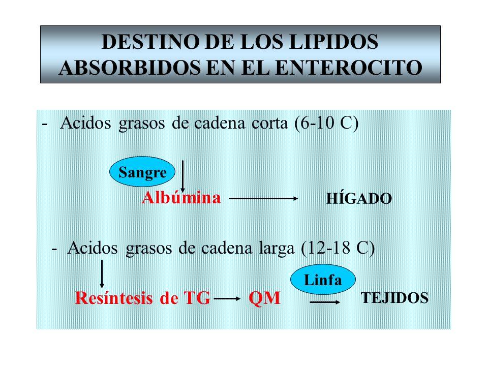 -Acidos grasos de cadena corta (6-10 C) Albúmina - Acidos grasos de cadena larga (12-18 C) Resíntesis de TG QM DESTINO DE LOS LIPIDOS ABSORBIDOS EN EL