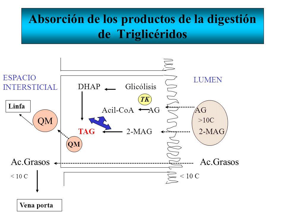 Absorción de los productos de la digestión de Triglicéridos ESPACIO INTERSTICIAL LUMEN DHAP Glicólisis QM Ac.Grasos < 10 C Vena porta Linfa QM TK Acil