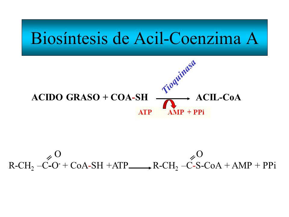 Biosíntesis de Acil-Coenzima A ACIDO GRASO + COA-SH ACIL-CoA Tioquinasa ATP AMP + PPi O O R-CH 2 –C-O - + CoA-SH +ATP R-CH 2 –C-S-CoA + AMP + PPi ==