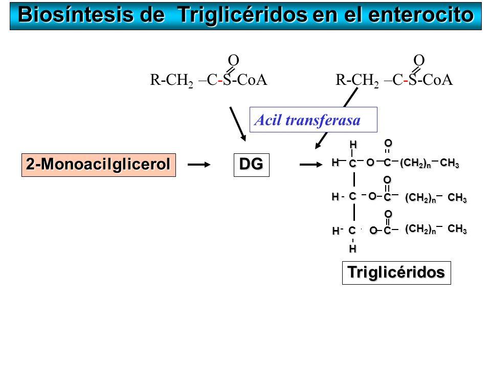 Biosíntesis de Triglicéridos en el enterocito O R-CH 2 –C-S-CoA = H O C O O CH 3 (CH 2 ) n H H O C CH 3 (CH 2 ) n O CH 3 C C Triglicéridos O C H H C A