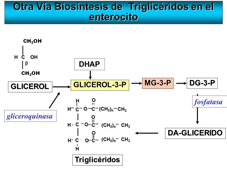Otra Vía Biosíntesis de Triglicéridos en el enterocito GLICEROL HCOH CH 2 OH GLICEROL-3-P H O C O O CH 3 (CH 2 ) n H H O C CH 3 (CH 2 ) n O CH 3 C C T