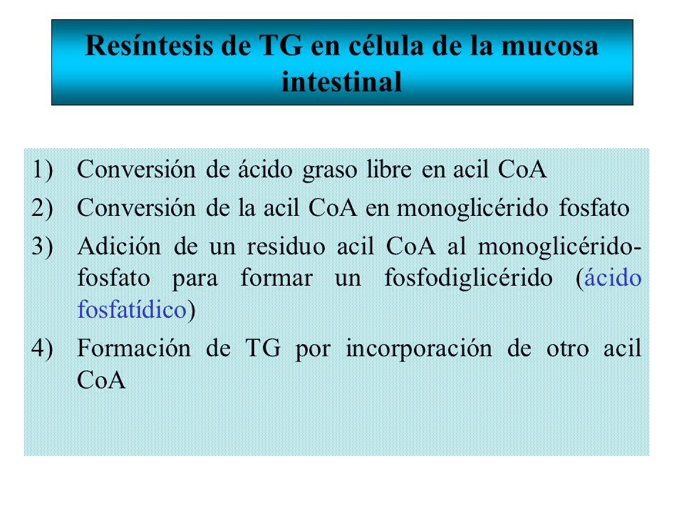 Resíntesis de TG en célula de la mucosa intestinal 1)Conversión de ácido graso libre en acil CoA 2)Conversión de la acil CoA en monoglicérido fosfato